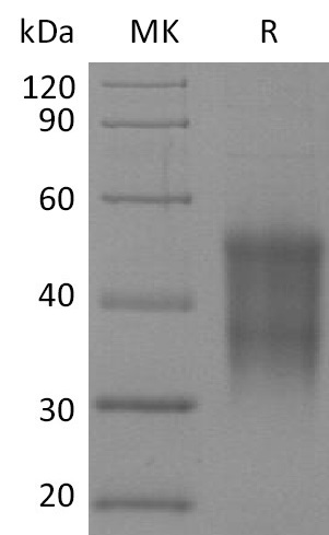 Recombinant Rhesus Macaque CD47 (N-6His-Flag)