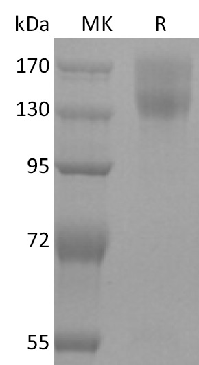 Recombinant Mouse LEPR (C-mFc)
