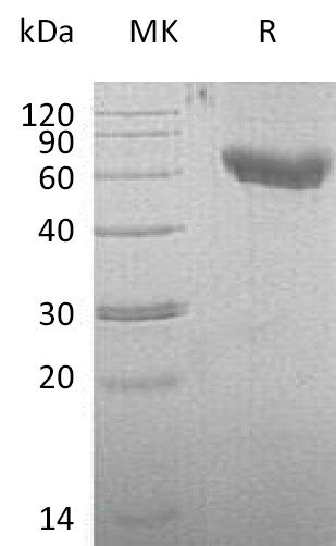 Recombinant Mouse CD28 (C-Fc-6His)