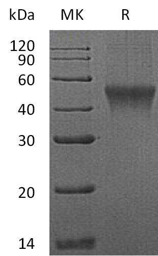 Recombinant Mouse FcRL1 (C-6His)