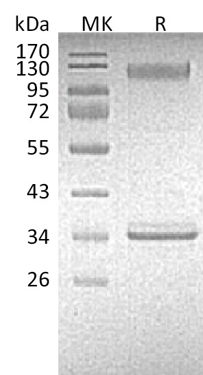 Recombinant Mouse P-selectin (C-Fc)