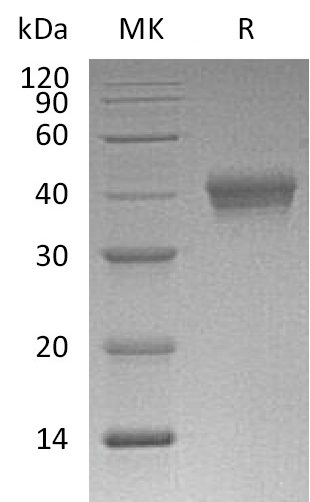 Recombinant Mouse CD38 (C-6His)