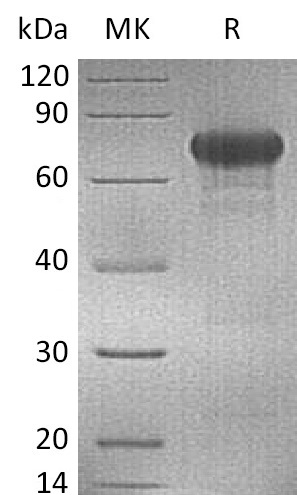 Recombinant Human OX40 (C-mFc)