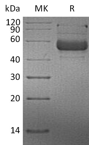 Recombinant Human LIGHT (N-mFc)